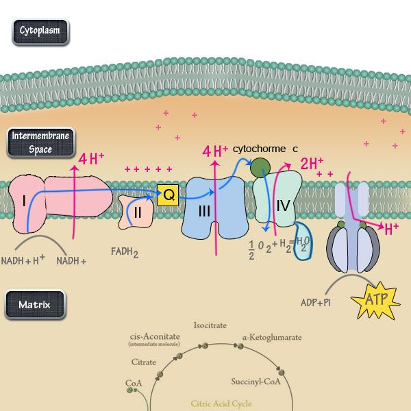 The electron transport chain is the final and most important step of cellular respiration. While Glycolysis and the Citric Acid Cycle make the necessary precursors, the electron transport chain is ...