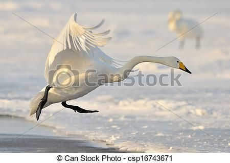 Stock Photo - Whooper Swan landing from flight. - stock image, images, royalty free photo, stock photos, stock photograph, stock photographs, picture, pictures, graphic, graphics