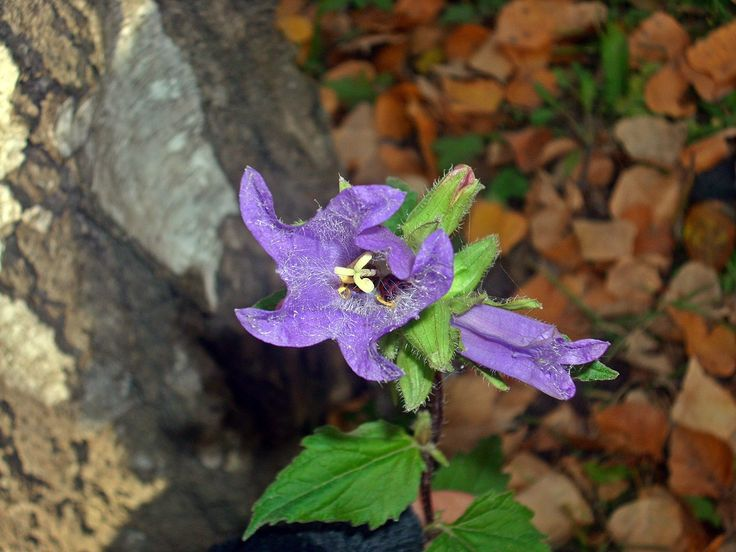 Csomós harangvirág - Campanula glomerata