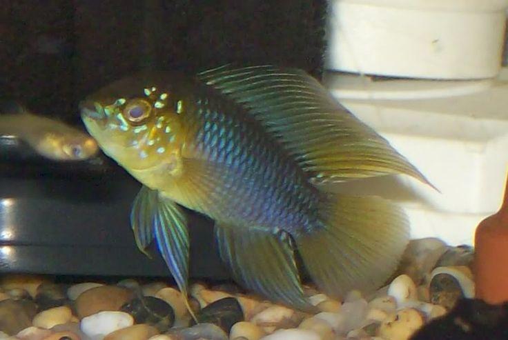 cichlids shop dwarf cichlid s american cichlids forward gold ram pair ...