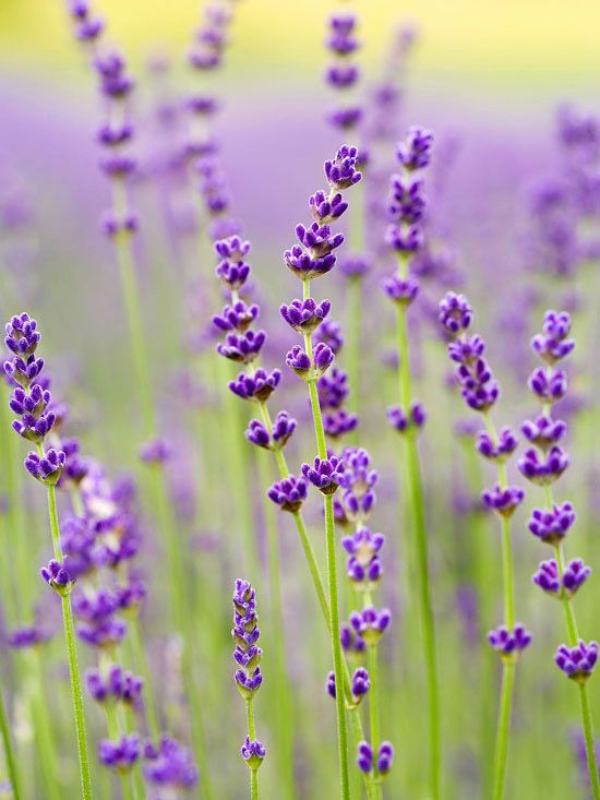 """Purple Bouquet"" is a top choice if you want to grow lavender for cutting fresh or drying: http://www.bhg.com/gardening/flowers/perennials/gardeners-guide-to-lavender/?socsrc=bhgpin021215purplebouquet&page=7"