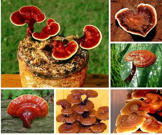Anyone else thinks this mushroom looks beautiful? Post your favourite #Ganoderma picture on the comments. Also we take a look at how mushrooms feature in the realm of film in our latest blog: http://ow.ly/BM57g
