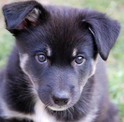 Icelandic Sheepdog: Sheep Dogs, Album Photo, Sheepdog Puppys, Black Dogs, Pet, Puppys Sheepdog, Croatian Sheepdog, Cute Iceland Sheepdog, Dogs Puppys