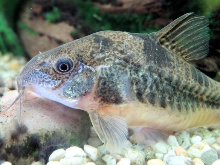A profile of the Corydoras paleatus, Pepper Cory, including care, feeding, and breeding.