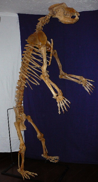 Cave bears became extinct in Europe after the Cromagnon immigration. Very cool, love Pleistocene