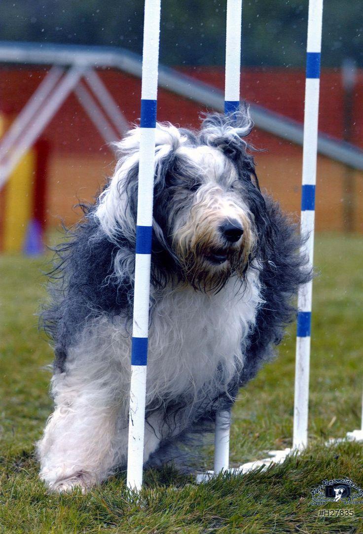 Das Old English Sheep Dog