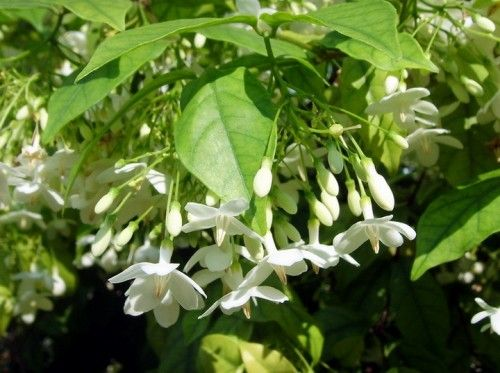 Water jasmine (wrightia religiosa) is a tropical shrub which produces flowers with a pleasant, honey fragrance. Zone 10-11