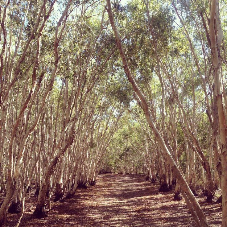 Melaleucca Forest Mackay, Queensland