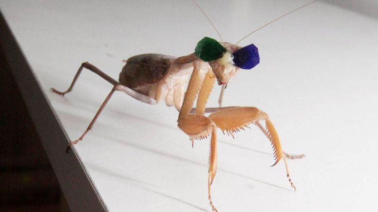 Scientists gave praying mantises tiny 3D glasses to test their depth perception | The Verge