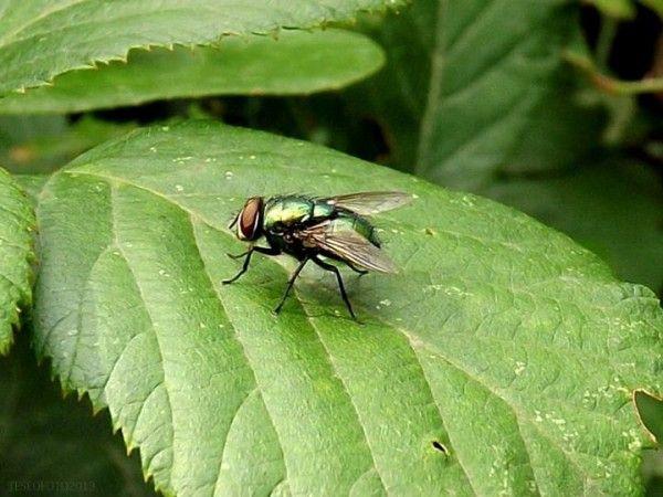 La mosca doméstica es un molesto insecto volador que se posa por todas partes dejando siempre rastros a su paso en forma de excrementos negros y pegajosos. Sobre todo en verano resultan muy molesta…