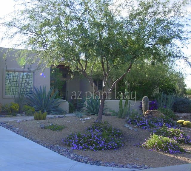 Arizona front garden -- no lawn, but fabulous with purple lantana and other drought-tolerant plants.
