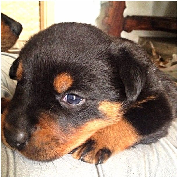 A little baby Rottweiler pup!  Congrats to @xica_rottweiller & thanks for posting!