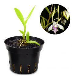 Dendrobium Antennatum Rp 55,000