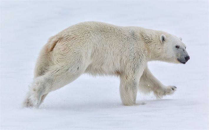 Lataa kuva Jääkarhu, talvi, North Pole, karhut, predator