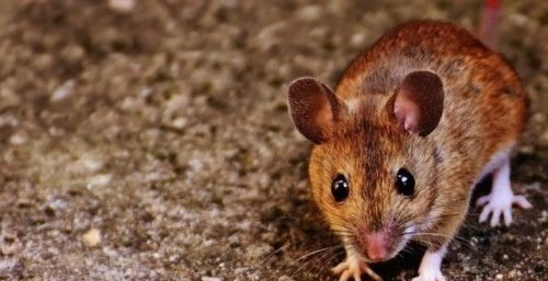 Mice Control in Isle of Anglesey #Rodent #Management #Services...
