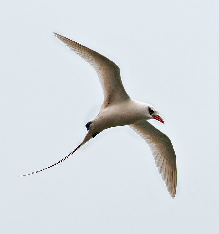 A Red Tailed Tropicbird, Photographed In Flight At The Kilauea Point  National Wildlife Refuge, Kauai, Hawaii