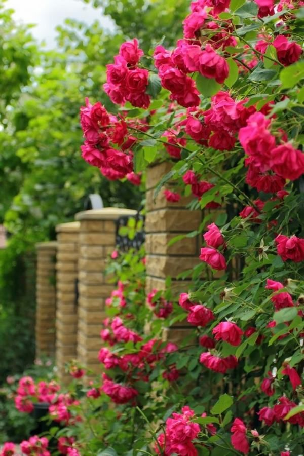 Types Of Roses How To Grow Roses Home Gardening Ideas Patio Decorating Ideas