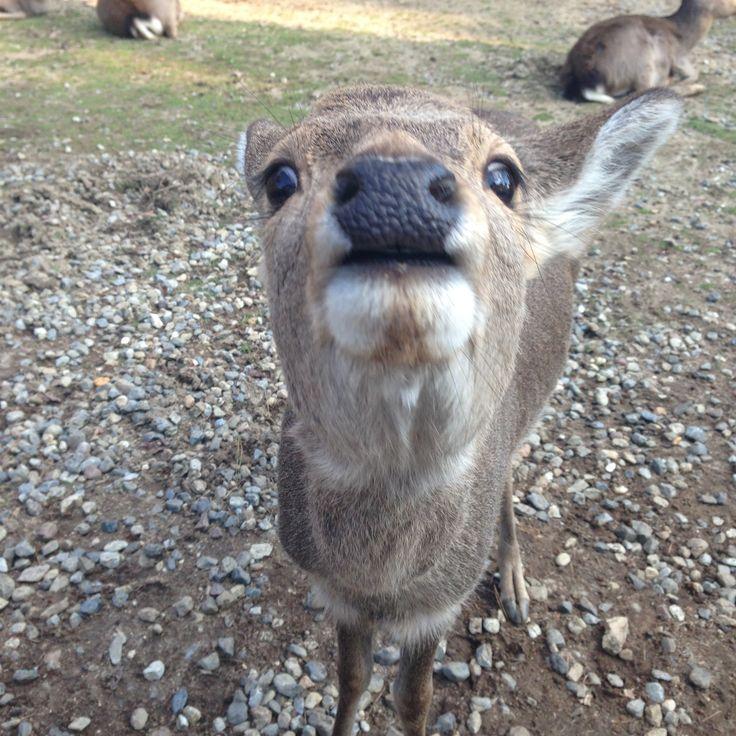 Deers in Nara. Feed them Shika-senbei. (deer crackers)