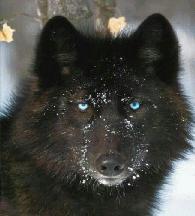 Black And White Wolf With Blue Eyes