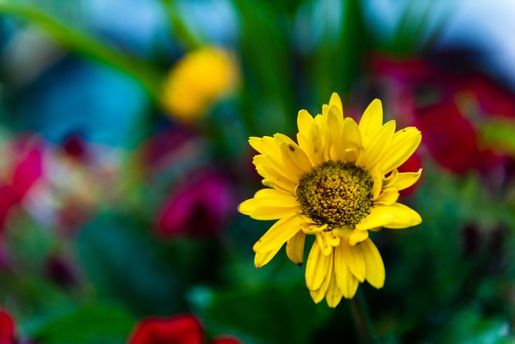 Yellow - single yellow daisy