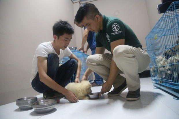 Peter Li HSI (ci-dessus à droite) aide ont tendance à un chiot sauvé d'un abattoir Yulin.  Les chiens sont maintenant évalués et traités dans un hôpital vétérinaire en vue de l'adoption.