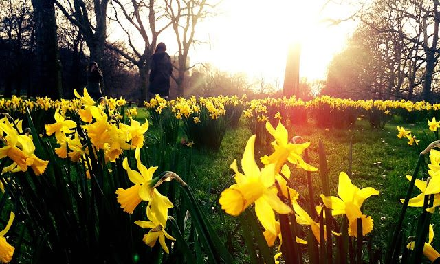 Daffodils blossoming in february. London. © I. Vrabľová