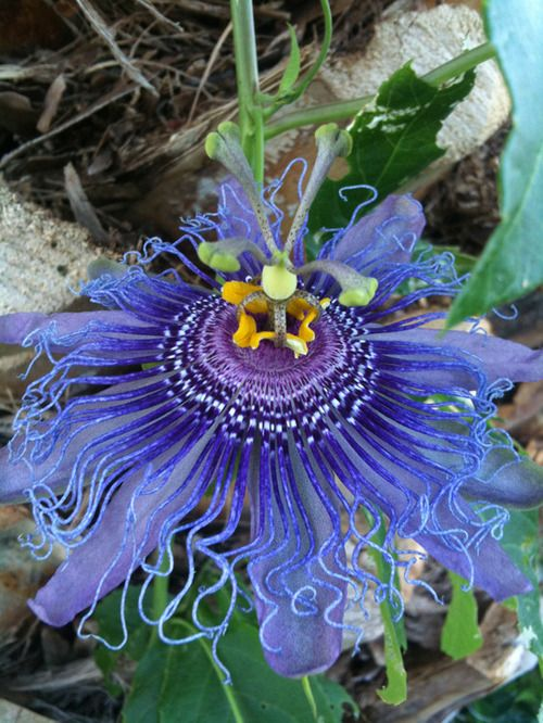 maypop  passion flower