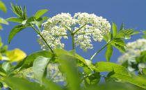 Die Heilpflanze Holunder kann bei Erkältungsbeschwerden, bei Gelenksproblemen oder auch bei Schlafstörungen eingesetzt werden.