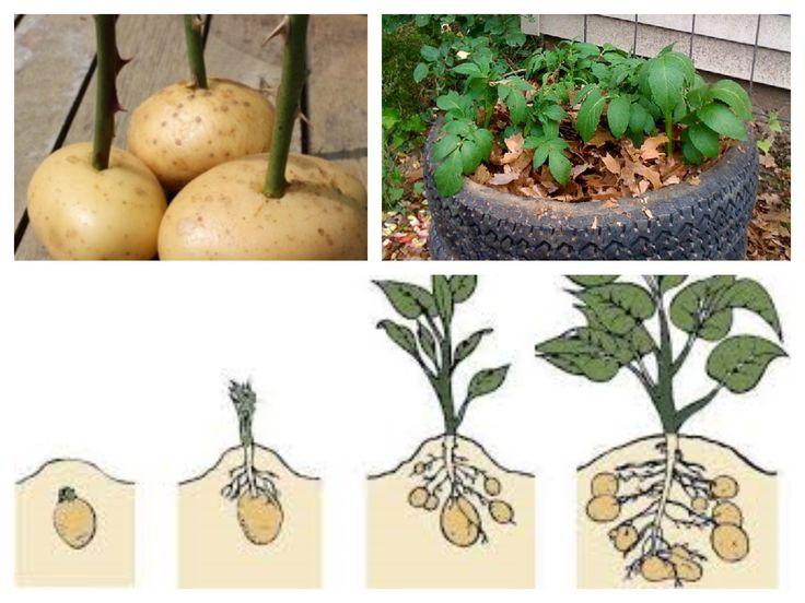 cultivo de batata - pneus ou sacos