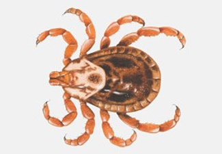 Know Your Ticks: Brown Dog Tick, Deer Tick, and Dog Tick - Southern States