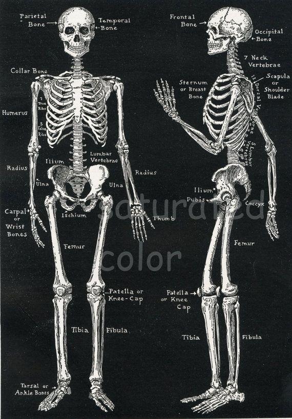 Human Skeleton Anatomy Vintage 1940s High Res Digital Image Diagram