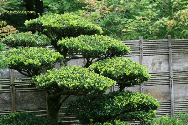 Japanese trees and shrubs here 39 s another example this for Garden shrubs
