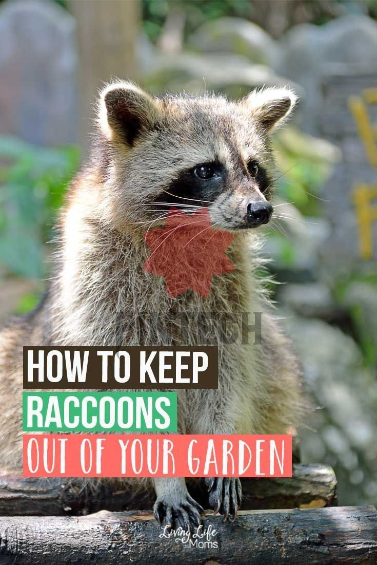 316b2ebc3e09c508fff585e8c0cdaf33 - How To Get Rid Of Raccoons Pooping On Your Deck