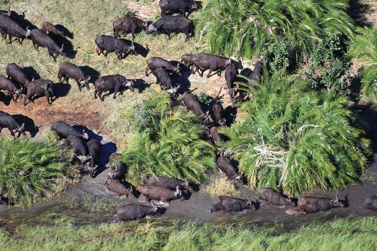 Huge herds of Buffalo wander through the narrow waterways of the Chobe in northern Botswana