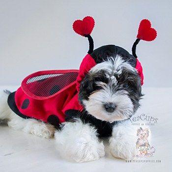 24 best Teacup Dog Halloween Costumes images on Pinterest ...