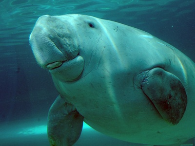 "June 19, 2012: A landmark victory for turtles and dugongs in Far North Queensland! They will now be fully protected under the Prevention of Cruelty to Animals Act. Traditional hunting of dugongs and turtles will no longer be exempt from animal cruelty laws in Queensland. Aboriginal and Torres Strait Islander Minister Glen Elmes states ""All Queenslanders will now have the same animal welfare obligations and it's important every Queenslander understands animal cruelty is never acceptable."""