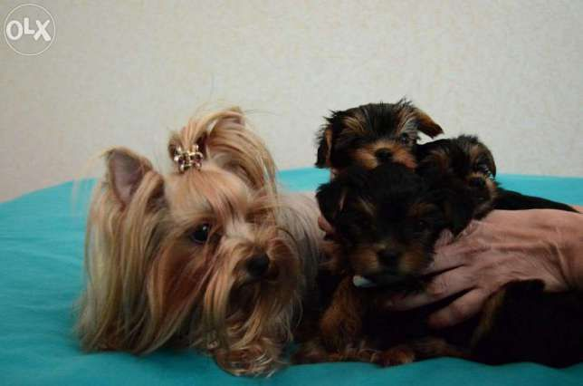 девочки и мальчики йоркширского терьера щенки Минск - изображение 1