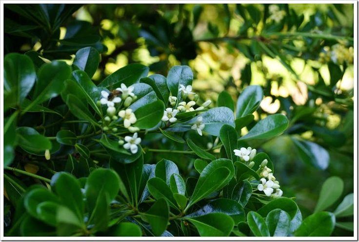 Парфюмерная звезда сезона – мексиканский апельсин (Choisya ternata) Летний сад
