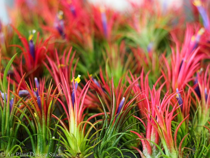Blooming Ionantha Fuego air plants! #tillandsia #airplant #blooms