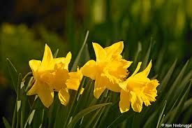 Image result for daffodil images