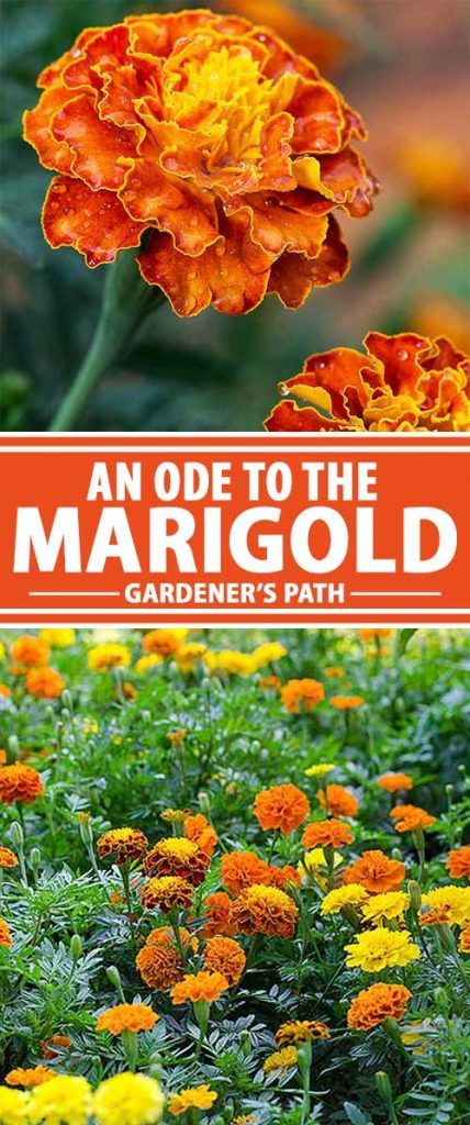 The bold marigold has gracefully taken a step back as the market for new and exotic flowers expands at a wild rate. That's a shame. This tough, colorful, and pest-resistant flower readily produces nonstop blooms, and it brings with it a host of benefits for your garden. Think twice before you pass up these darlings the next time you're stocking up for the season. Our closer look at the marigold that will leave you ready and waiting to plant your own – read more now on Gardener's Path.