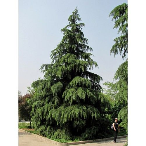 "Cedrus deodara  ""Indian Cedar""  A beautiful tree which has a graceful weeping appearance when young with greyish coloured, long needles. As the plant matures, the branches become more horizontal and the foliage becomes dark green."