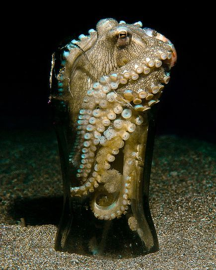 A veined octopus uses a discarded bottle for shelter on the sea floor off the Philippines.     NatGeo