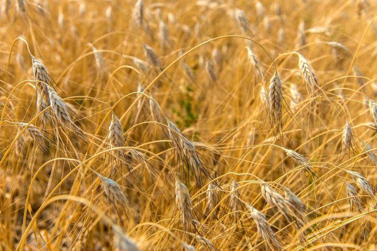 kamut-  Ősi, tápláló gabona, mely Egyiptomból származik.[1] A gabonafélék fáraójának is nevezik.  Egy a kevés gabonafaj közül, mely nem mutálódott más gabonafélékkel, nem nemesítették és kizárólag ökológiai gazdaságokban termesztik