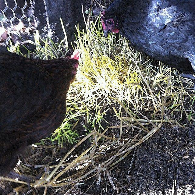 Hvis du sætter en #halmballe med #korn under, fx #hvedekorn, så #spirer de i løbet af en uges tid. #voila! Og du har #friske #spirer til  #hønsene. De bliver #lykkelige - du flytter bare halmballen og gør det igen:) #happychickens #seeds #chickenyard #freefood #greatfun