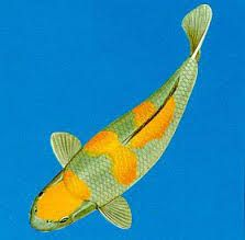 267 best goldfish koi images on pinterest goldfish for Carpe koi tancho