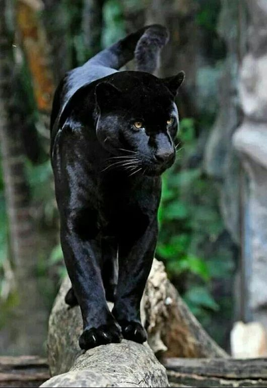 BLACK JAGUAR.                                                       …                                                                                                                                                                                 More