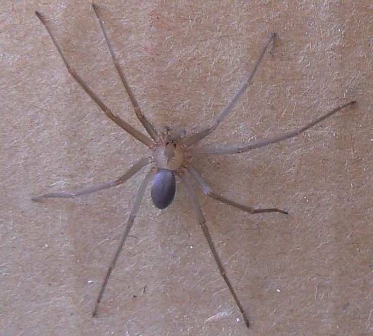 desert black widow spider - photo #30