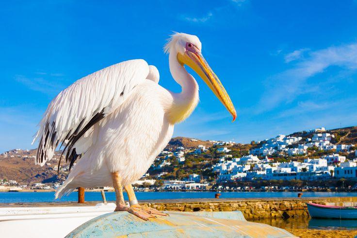 Petros the Pelican, Mykonos, Greece.jpg 1,000×667 pixels