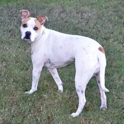 ENGLEWOOD, FL - ROSE is an AMERICAN PIT BULL TERRIER MIX for adoption who needs a loving home.